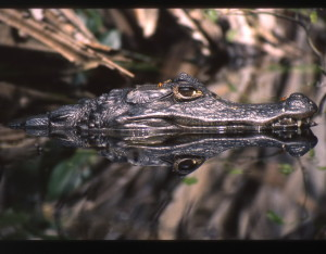 A caiman. Photo: Paul Grant