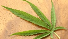 Cannabis_sativa_leaf_Dorsal_aspect_2012_01_23_0830