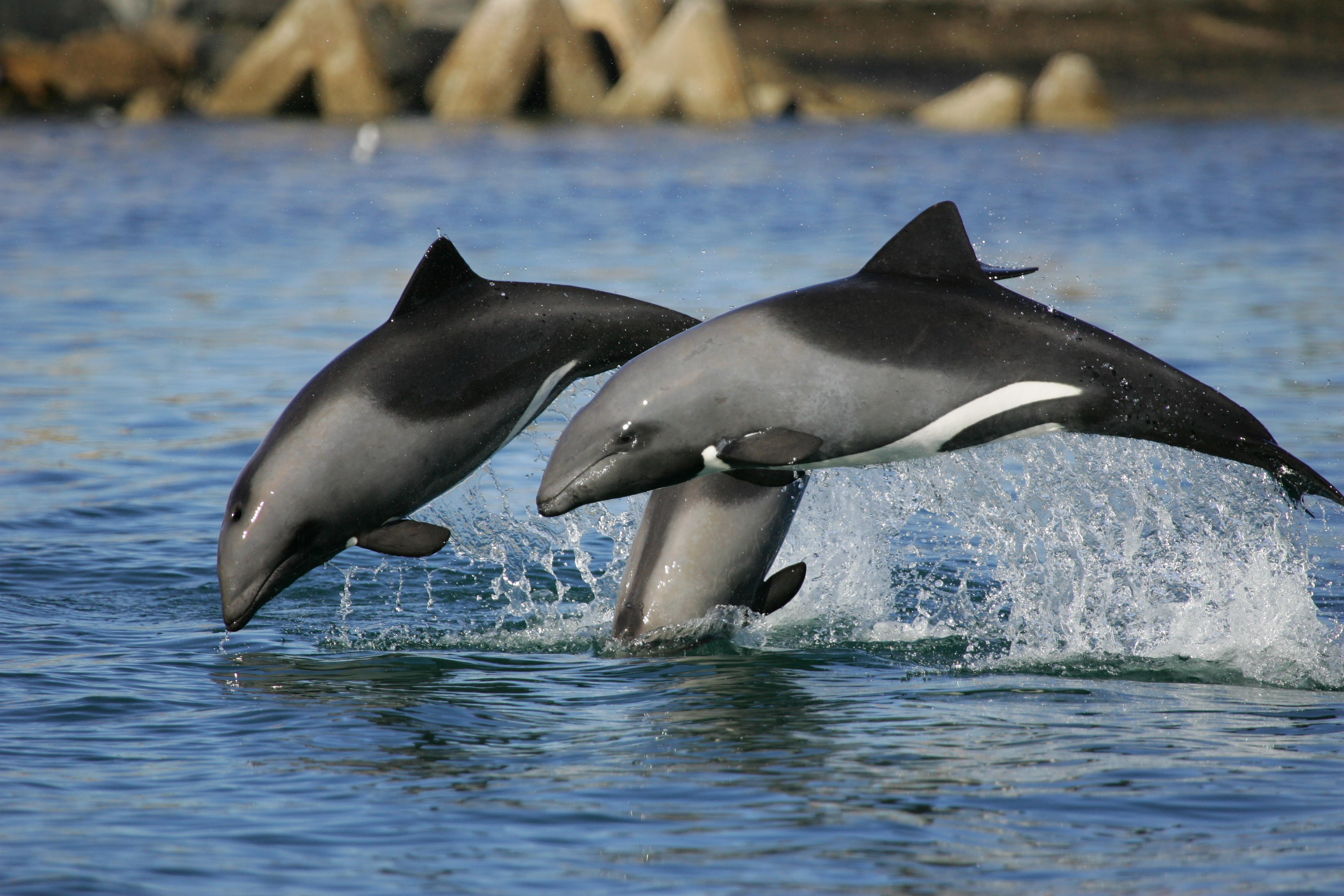 West Coast S Heaviside S Dolphins Are All Family Scibraai