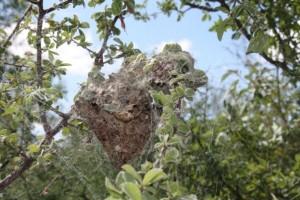 A colony of Stegodyphus dumicola social spiders.