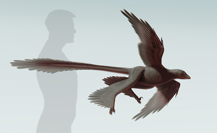 Illustration of Changyuraptor yangi (S. Abramowicz, Dinosaur Institute, NHM aa53e91a8e
