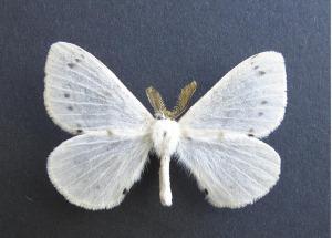 Stenoglene perissinottoi, een van die twee nuwe motspesies wat duer 'n Belgiese entomoloog beskryf is.