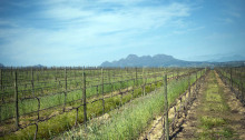 Neethlingshof Wine Estate, in Stellenbosch. Image credit: David Harrison, M&G.