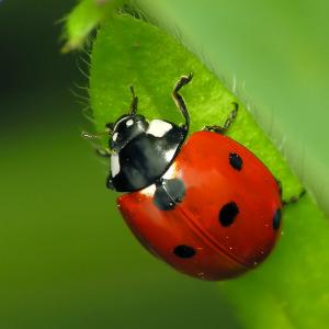 7-Spotted Ladybug - Coccinella septempunctata