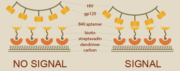 HIV biosensor: How the biosensor detects HIV. Left: if the B40 aptamer does not recognise gp120, no signal is generated. Right: the B40 aptamer binds gp120 and produces an electrical signal indicating the presence of HIV. Image by ScienceLink.