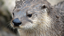 North_American_River_Otter_-_CNP_3361_(7056954311)