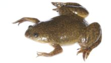 SA water experts have studied the African clawed frog to understand the influence of pesticides on our health. Photo: Brian Gratwicke