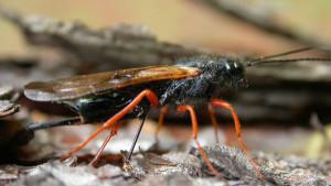 Invasive pest: The Sirex wasp is not indigenous to SA and has no natural predators. The wasp's reproductive process kills pine trees.