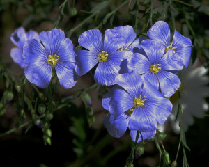 Flax, with its hip-height glossy bluish-green leaves and pale blue flowers, is a fiber crop that is grown in cooler regions of the world. Credit: https://upload.wikimedia.org/wikipedia/commons/6/6b/Flax_flowers.jpg