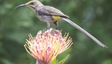 Credit: http://upload.wikimedia.org/wikipedia/commons/a/a8/Cape_Sugarbird_(Promerops_cafer)_2.jpg