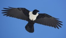 A pied crow. Photo credit: Peter Ryan/The Conversation