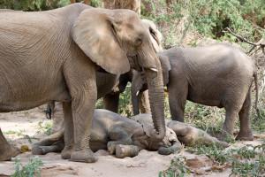 Die olifante het egter spontaan die navorsers gevolg wanneer hulle na 'n voorwerp of in 'n rigting gewys het, sonder dat hulle dit geleer is.