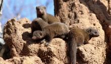 dwarf mongooses Sharpe