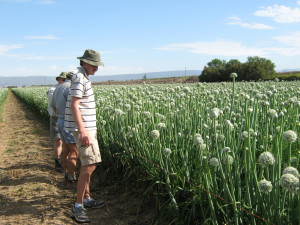 Dr Ruan Veldtman of SANBI in a field of hybrid onion seed plants. Bees are important for the pollination of this crop. Photo: SUPPLIED