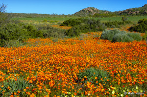Namaqua Daisies and other wild flowers growing on every bit of unused farmland in Namaqualand. Photo:  Martin Heigan