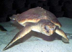 A loggerhead turtle (Caretta caretta). Credit: Wikimedia