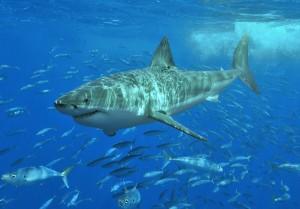 A great white shark. Photo: Wikimedia