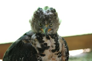 African crowned eagle. Source: Wikimedia