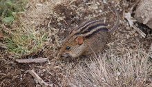 African striped mouse. Photo: https://commons.wikimedia.org/wiki/User:C.R.Selvakumar