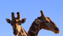 Scientists say that there are four genetically distinct giraffe species. Photo: Engela Duvenage