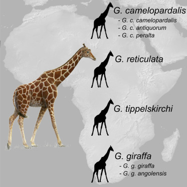 Researchers are proposing four distinct giraffe species. Source: Fennessy J. et al (2016)