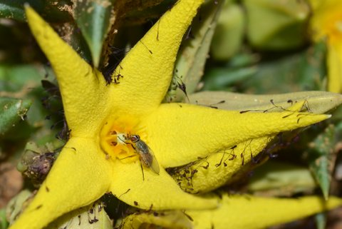 An Atherigon fly visiting a yellow carrion plant. Photo: Adam Shuttleworth