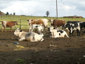A herd of Nguni cows in an enclosure
